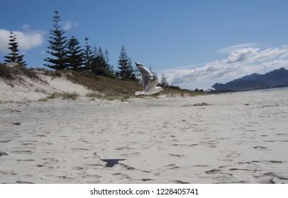 Flying Red-billed Gulls at Waipu beach, New Zealand