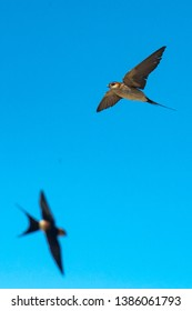 Flying Red-rumped swallow (Cecropis daurica), Malaga, Spain