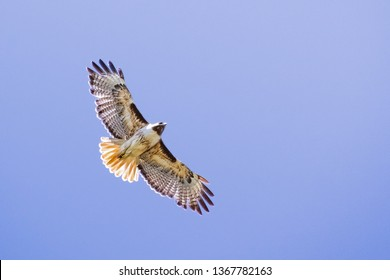 Flying Red-tailed Hawk (Buteo jamaicensis); blue sky background, Fremont, east San Francisco bay area, California