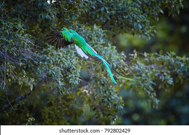 Flying Resplendent Quetzal, Pharomachrus mocinno, long-tailed, iridescent tropical bird feeding on wild avocado fruits. Rare view on male flying with outstretched wings and fluttering tail feathers.
