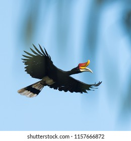 the flying Rhinoceros hornbill in the rainforest of Borneo. Image is soft