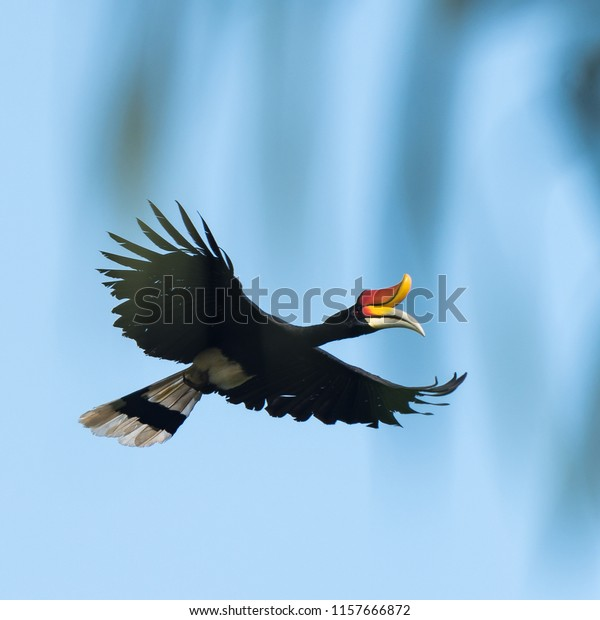 Flying Rhinoceros Hornbill Rainforest Borneo Animals Wildlife Stock Image 1157666872