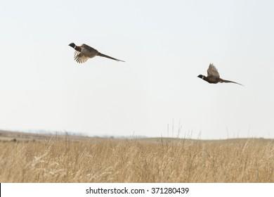 Flying Rooster Pheasants