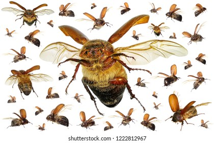 Flying scarab beetles (Coleoptera: Scarabaeidae). Agriculture and pest control. Isolated on a white background