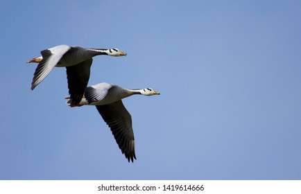Flying scenery of Bar headed goose