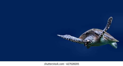 Flying sea turtle on blue background or sea turtle isolated use for aquatic animal background
