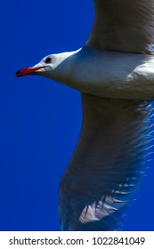 Flying seagull. Audouins Gull. Natural background.
