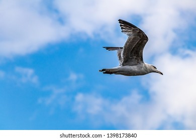 flying seagull in a blue sky