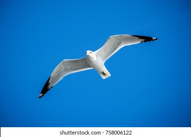 Flying seagull with blue sky as background.