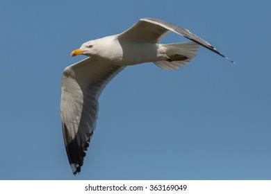 Flying seagull, Camargue