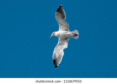 Flying seagull close up against clear blue sky, bottom view