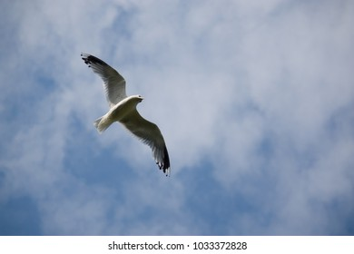 A flying seagull in the cloudless blue sky