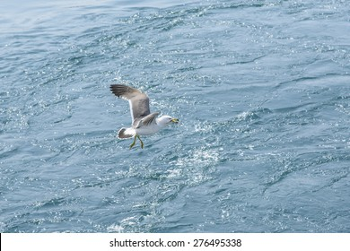 flying Seagull get tnagled by the fishing guts around its legs.