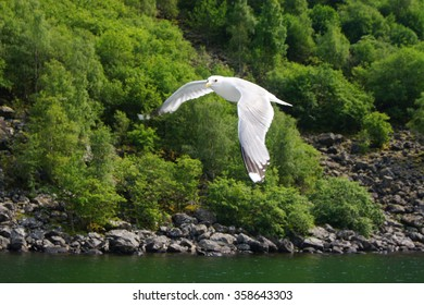 A flying seagull hovers over forest. Gulls or seagulls are seabirds