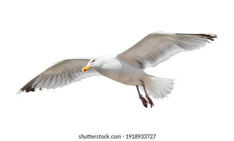 Flying seagull isolated on white background
