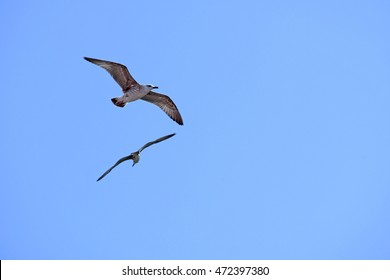 Flying seagull on the island of Thassos, Greece