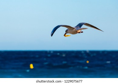 Flying seagull with prey in its beak on the coast of Nice, France.