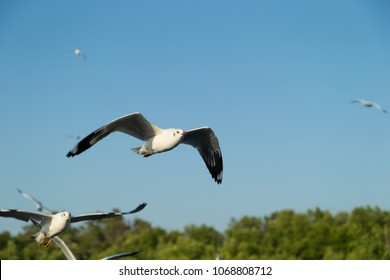Flying Seagull, Sea Gulls in thailand, Sea Gull in south east asia. A flock of common black headed gulls, Chroicocephalus Ridibundus, sea gulls, flying over a beach in a clear blue sky
