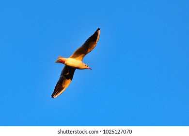 Flying seagull at sunset with blue sky in the background. Beautiful bird picture in winter nature.