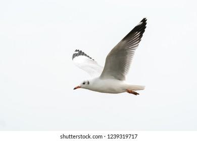 Flying seagull in tropical sea beach and coast