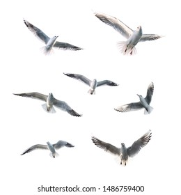 Flying Seagulls (isolated). Flock of seagulls.