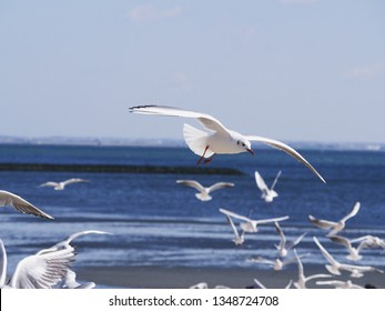 Flying seagulls in sea of Gamagori Japa.