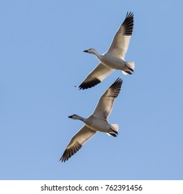 Flying snow geese (Chen caerulescens), adult and young, Loess Bluffs National Wildlife Refuge, Missouri, USA