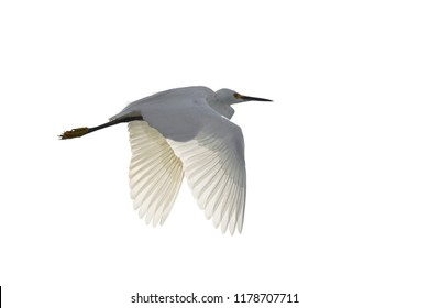 Flying Snowy Egret, Egretta thula, isolated on white background