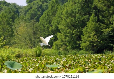 Flying snowy egret - Reelfoot Lake State Park, Tennessee