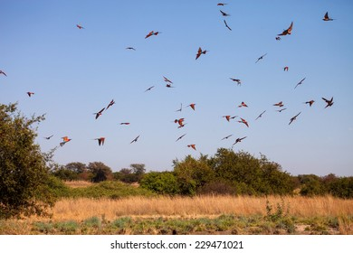 flying Southern Carmine Bee-eater, Merops nubicoides, on a large nest in Zambezi, Namibia