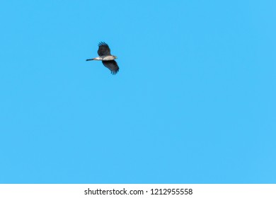 Flying Sparrowhawk, Accipiter Nisus, by blue skies
