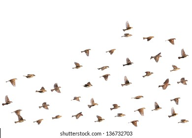 Flying sparrows isolated on a white background