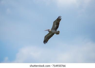 Flying spot billed pelican or grey pelican in Thailand