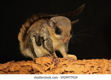 A flying squirrel (Lomys horsfieldi) is hunting for termites on weathered wood. These animals are nocturnal or active at night.