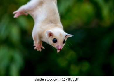 Opossum Hanging By Tail