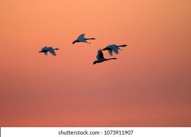 Flying swans against dramatically sunset sky, beautiful sunset. Flock of whooper Swans (Cygnus cygnus) make start