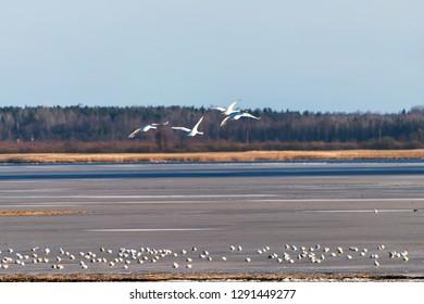 Flying swans in winter.