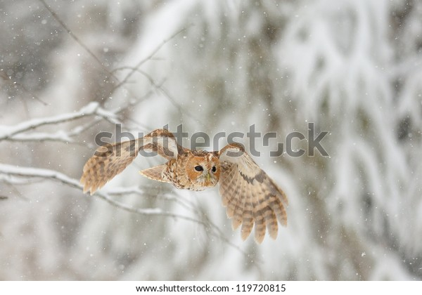 Flying tawny owl in winter time when is snowing