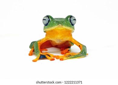 flying tree frog, javan tree frog, wallace frog, rhacophorus reinwardtii with white background