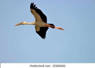 Flying Tropical bird heron.The national Park of Sri Lanka