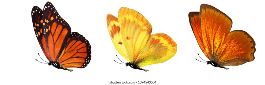 flying tropical butterflies. insects for design. colored moths. isolated on white background