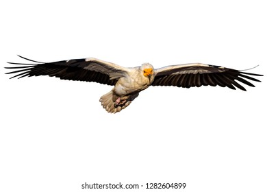 Flying vulture. Isolated bird photo. White background. Vulture: Egyptian Vulture. Neophron percnopterus.