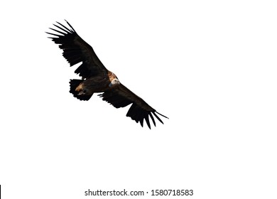 Flying vulture. Isolated bird. White background. Griffon Vulture. Gyps fulvus.
