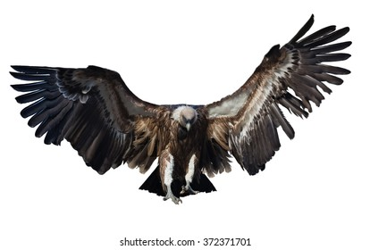 Flying  vulture. Isolated over white background