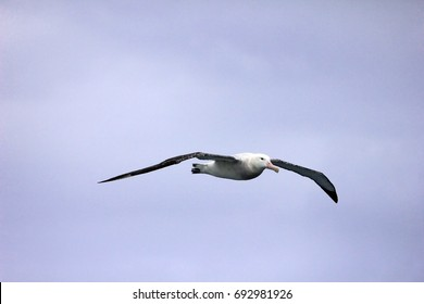 Flying Wandering Albatross, Snowy Albatross, White-Winged Albatross or Goonie, diomedea exulans, Antarctic ocean, Antarctica