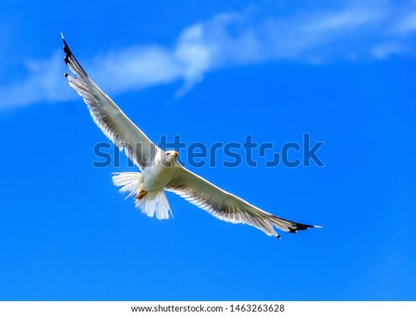 Flying Wandering Albatross, Snowy Albatross, White-Winged Albatross