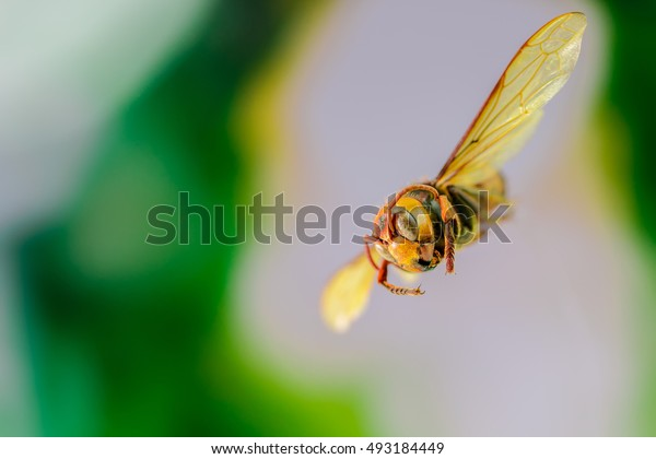 Flying Wasp, specimen insect  on white background