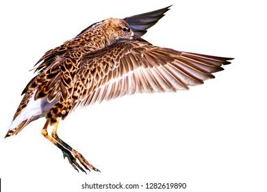 Flying water bird. Isolated bird. White background. Bird: Ruff. Philomachus pugnax.