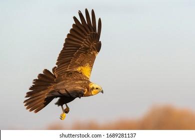 Flying western marsh harrier (Circus aeruginosus) Toledo, Spain