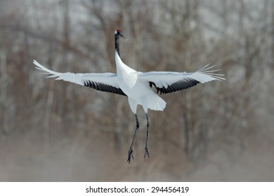 Flying White bird Red-crowned crane, Grus japonensis, with open wings, with snow storm on Hokkaido, Japan.